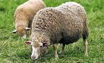 Owce  to ekologiczna alternatywa  dla kosiarek