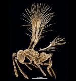 Najmniejszego krewniaka osy widać tylko przez mikroskop