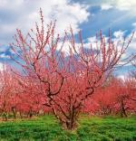 Na Lubelszczyźnie jest 22 tys. hektarów sadów, a produkcja jabłek sięga 500 tys. ton rocznie