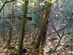 Pozostałości wchłoniętego przez las starego cmentarza w Puźnikach, na którym leżą pomordowani Polacy