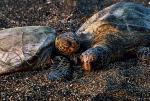 Prastare żółwie wylegują się na ciemnym piasku plaż