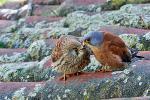 Pustułeczki (samica i samiec). Zagrożone wyginięciem w skali całego kontynentu