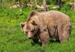 Spray na niedźwiedzie popularny, ale nieskuteczny
