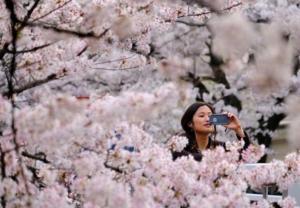 Świat kwitnie i pachnie wiśniami