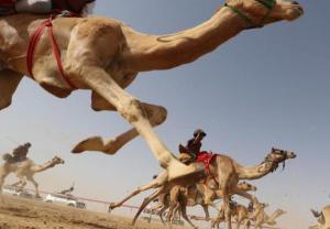 Wielbłądy ścigają się w Abu Zabi