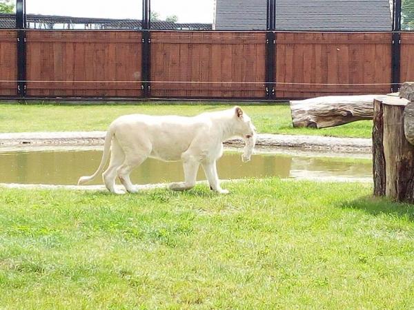 Łódzkie: Lwiątka zagryzione w zoo