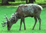 W Polsce woli strzelać do kozłów i jeleni