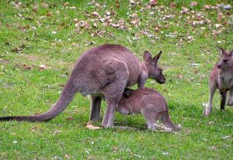 Antykoncepcja dla kangurzyc