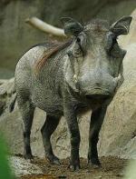 Rysopis poszukiwanego guźca  z Lasu Kabackiego