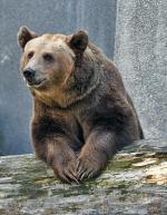 Niedźwiedzie, które teraz chowają się  w krzakach  i leczą żołądek, będą na wybiegu do połowy października