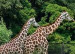 Żyrafy ze stołecznego zoo zamieszkają w nowym, ogrzewanym pawilonie