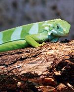 Zielone legwany z Fidżi to prawdziwy rarytas. Warszawskie zoo chucha i dmucha na parkę sprowadzoną  z Niemiec