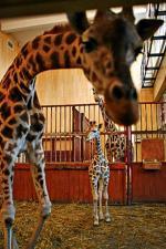 Żyrafy  przetrzymały prucie podłogi, robotników  z wiertarkami  i prostowanie ścian  w pawilonie.  W prezencie pod choinkę będą miały  nowoczesne boksy