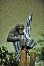 Szympansy lubią się stroić – trzeba im tylko dostarczyć koszule