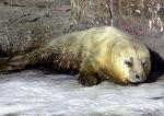 *91. urodzona w Warszawie foka. Gdzie znajdzie się dla niej miejsce?