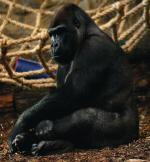 *Nie wiadomo, kiedy nasze goryle będą mogły założyć rodzinę