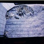 Wczoraj udało się zrobić pierwsze zdjęcia tygrysiątkom