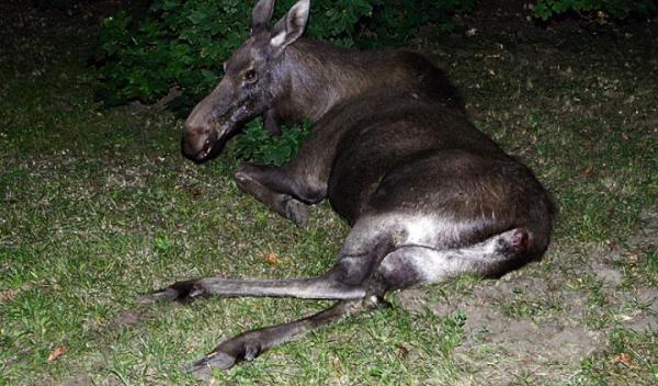 W poprzednim roku na trasie Leszno – Kazuń zginęło kilkanaście łosi