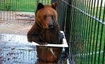 Misie  z Korabiewic do maja muszą znaleźć się  w ogrodzie zoologicznym