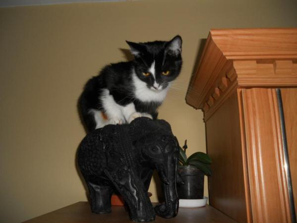 Jeden z uczestników kokursu o miano najbardziej wolskiego kota